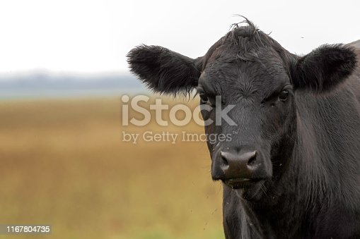 Image of beef cattle on pasture