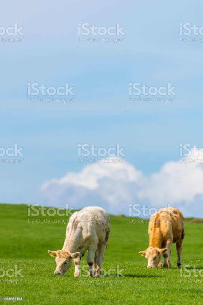 Beef cattle in a field on a bright spring afternoon stock photo