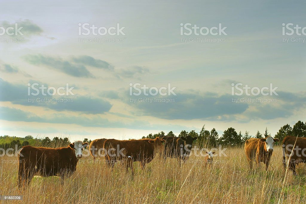 beef cattle in grassy field royalty-free stock photo