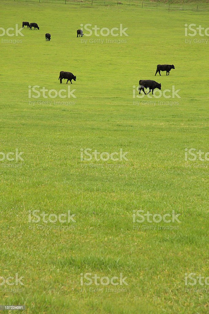 Beef Cattle in Pasture royalty-free stock photo
