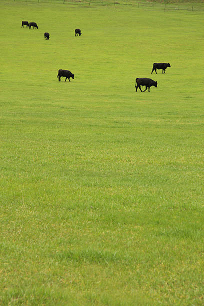 Beef Cattle in Pasture stock photo