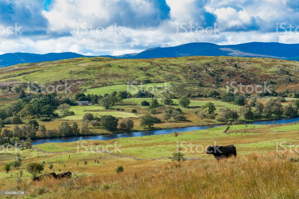 Beef cattle in Scottish countryside stock photo