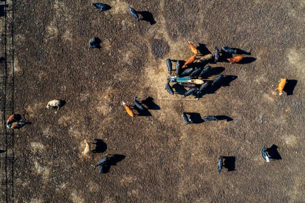 Beef Cattle in Texas, Luftbild – Foto