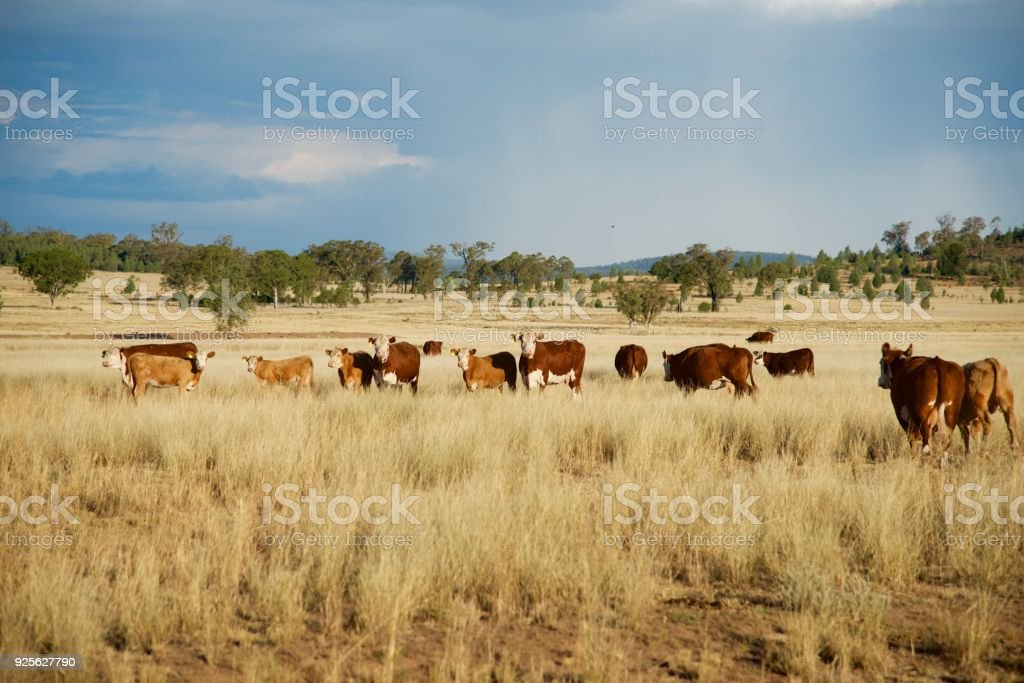 Beef cattle in the distance stock photo