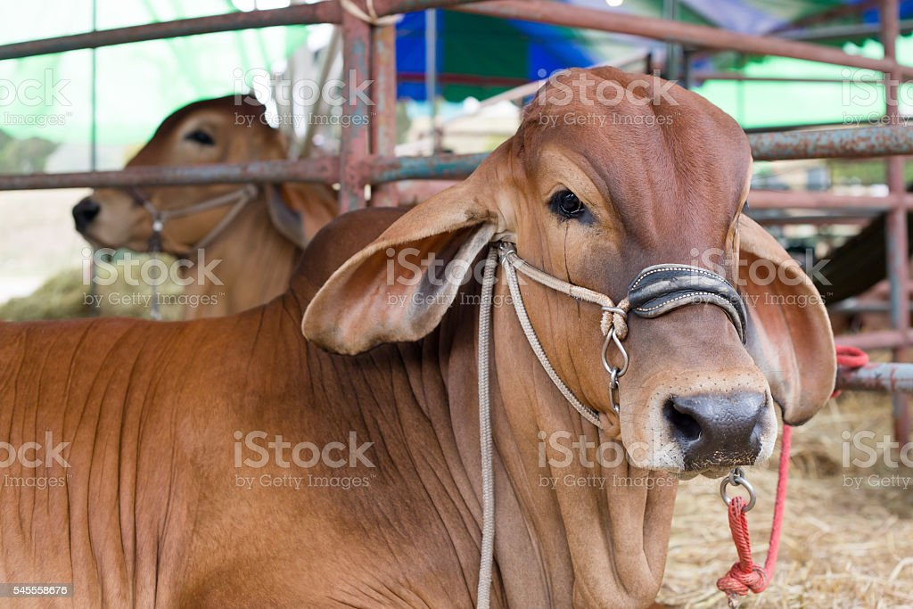 Beef cattle judging contest, Close up American Brahman brown stock photo