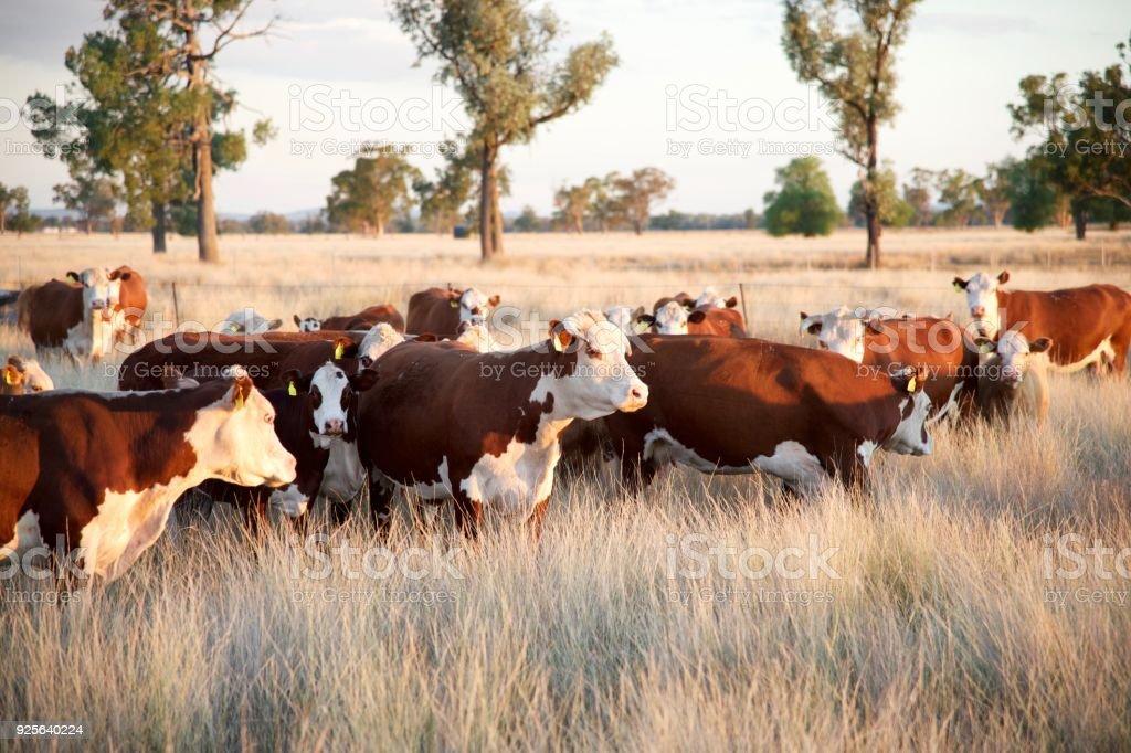Beef cattle on organic farm stock photo