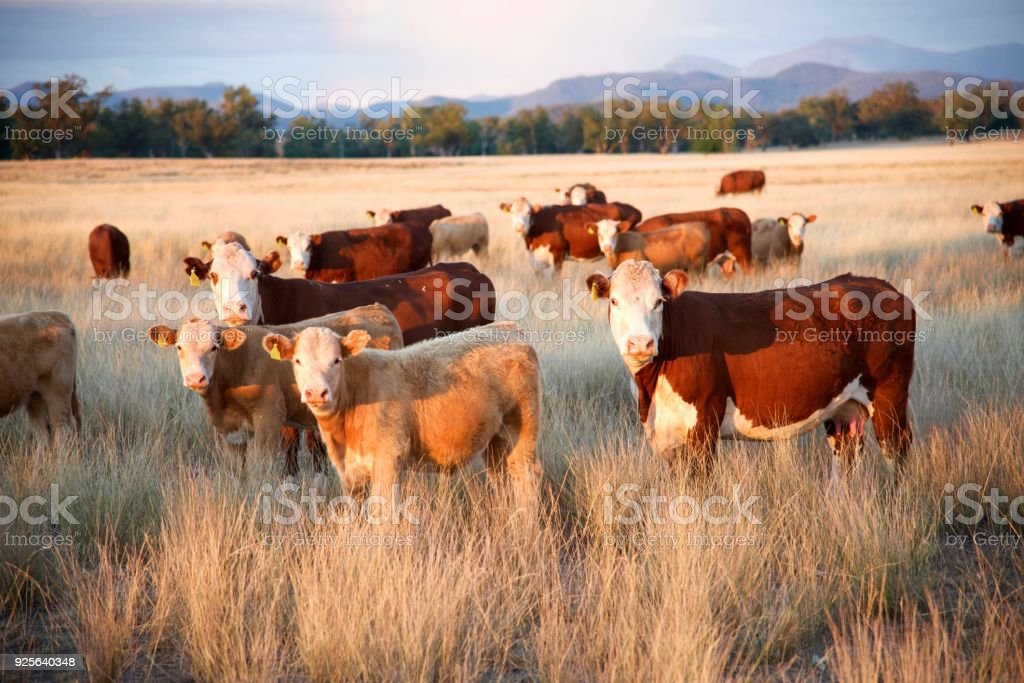 Beef cattle on remote farm with mountains stock photo