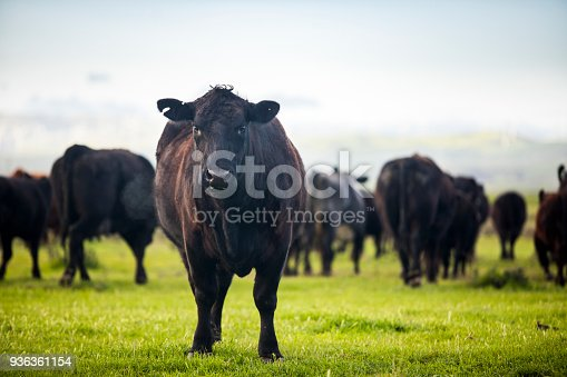 Grass-fed beef cattle roaming on a large ranch in the Central Valley, California