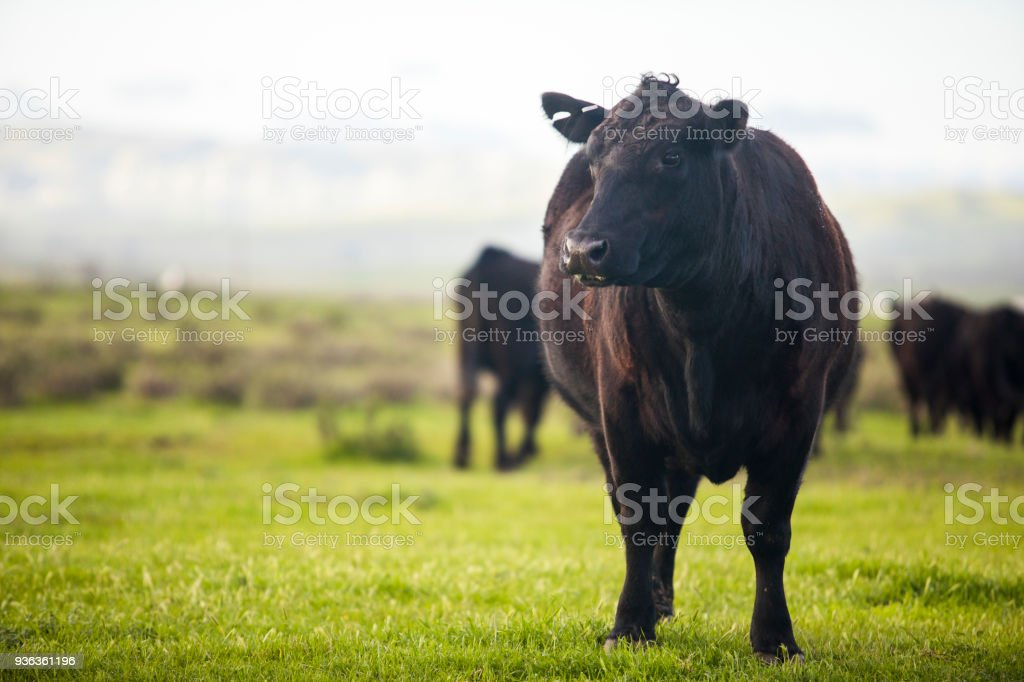 Beef Cattle Open Range on Large Ranch stock photo