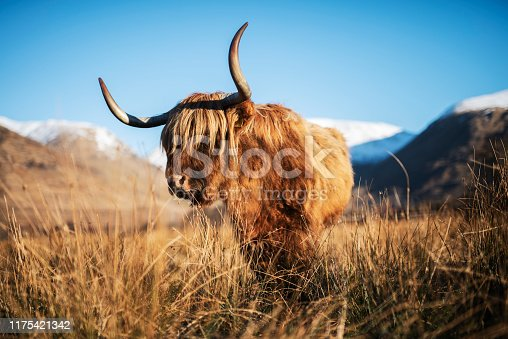 A shaggy haired Highland cow posing in the field for his close-up portrait, Highland Cattle are well known for their Scottish heritage and origins, with long horns and wonderful full long haired coats, they can survive in Scotland's harshest of weather conditions.