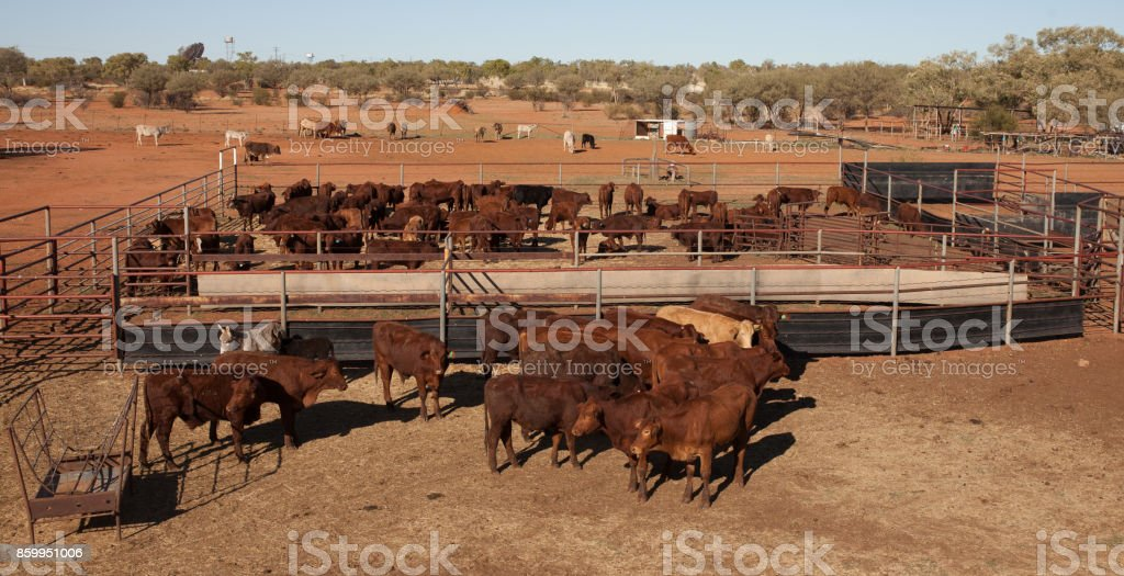 beef cattle, stock photo