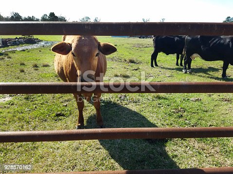 Beef Cattle in corral