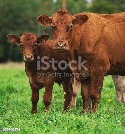 Small herd of beef cattle in rural Nova Scotia.