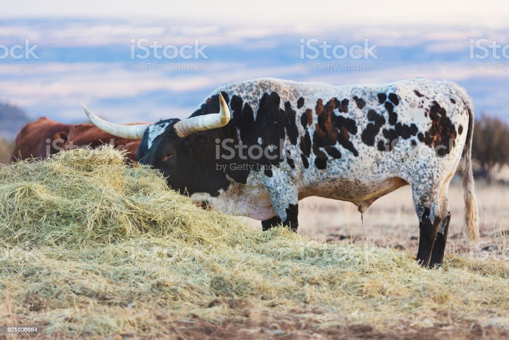 Beef Cattle - Western Colorado Livestock stock photo