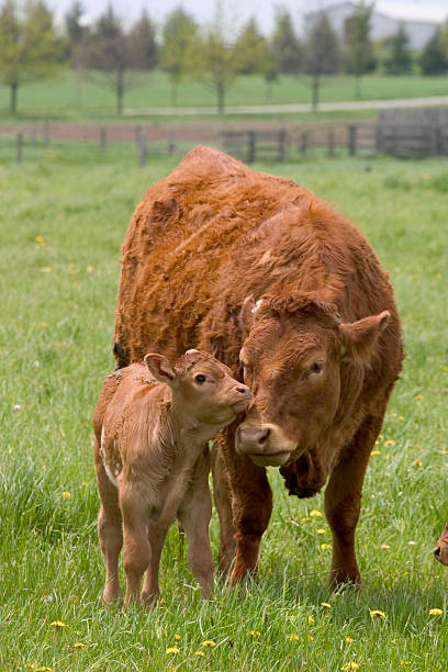 Beef Cow and Calf stock photo