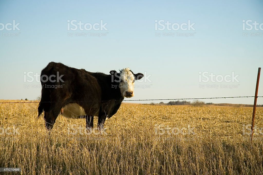 Beef Cow on Stalks royalty-free stock photo