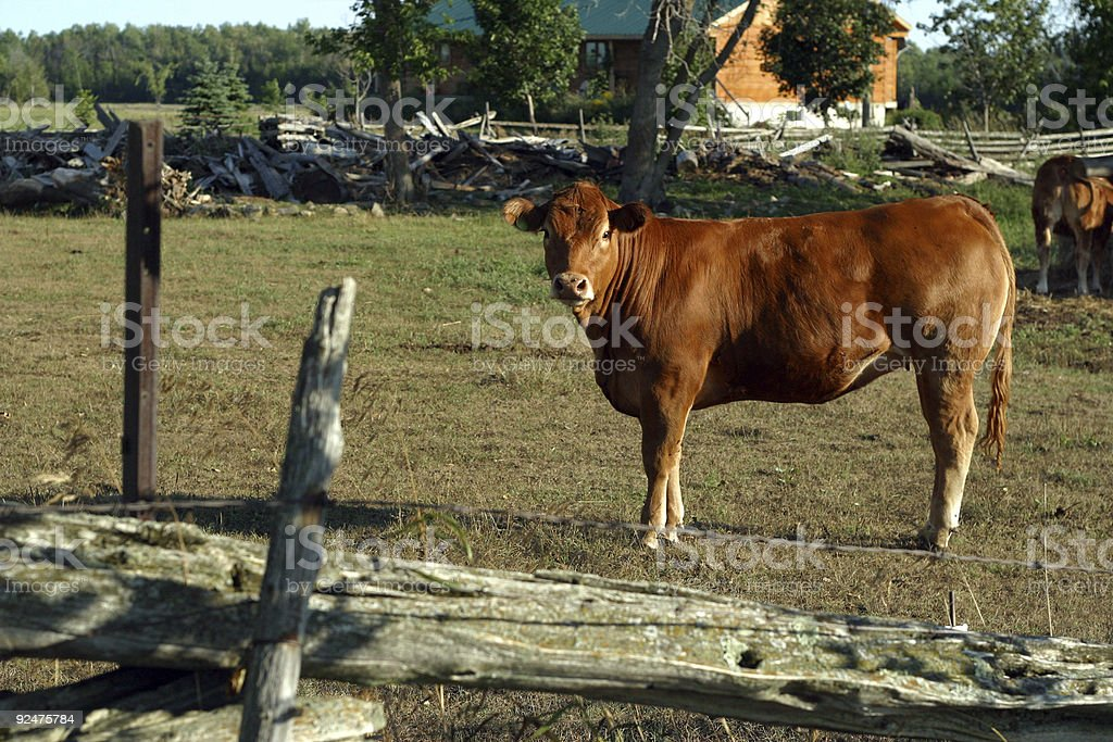 Beef Cow royalty-free stock photo