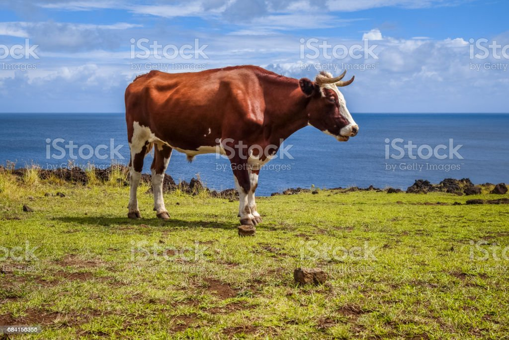 Beef on easter island cliffs royalty free stockfoto