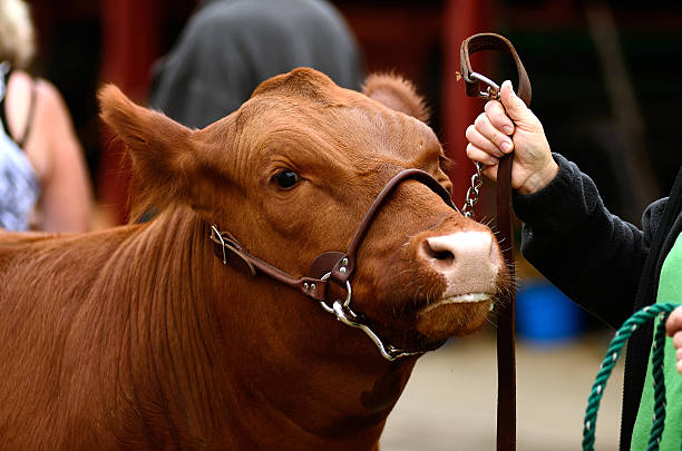 Beef Steers stock photo
