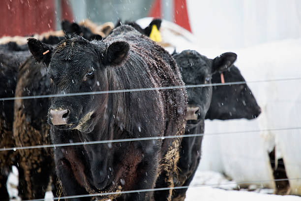 Beefers in the Snow stock photo