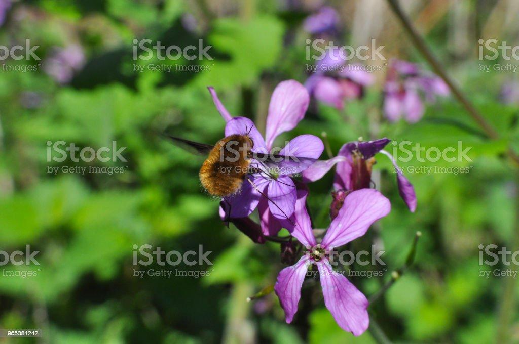 Bee-fly, Bombylius in flight collecting nectar on wild flowers zbiór zdjęć royalty-free