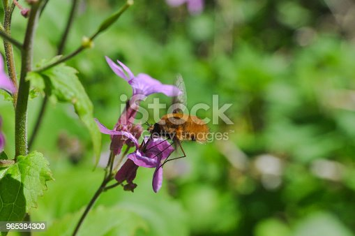 Beefly Bombylius In Flight Collecting Nectar On Wild Flowers Stock Photo & More Pictures of Animal
