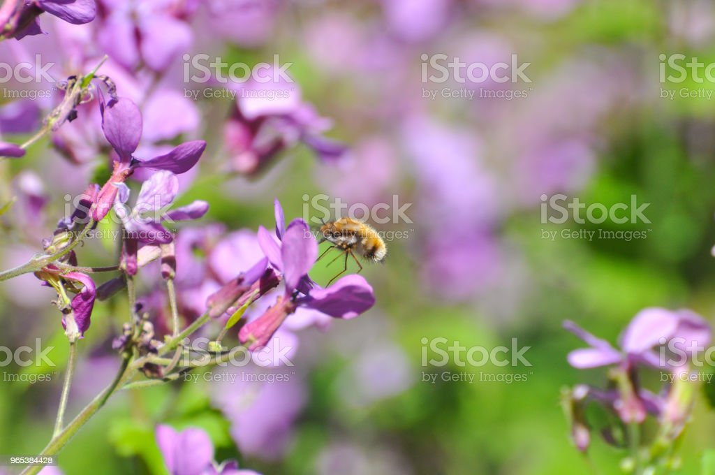 Bee-fly, Bombylius in flight collecting nectar on wild flowers royalty-free stock photo