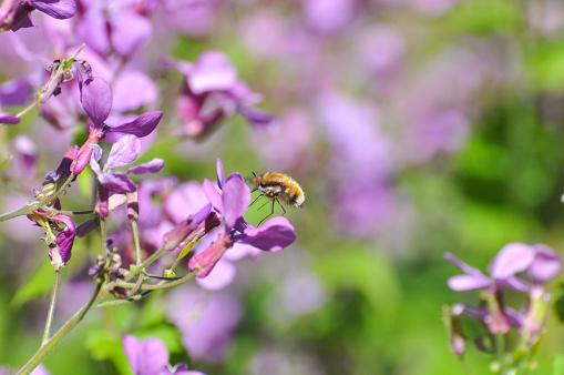비비행 야생 꽃 꿀을 수집 하는 비행에 Bombylius 가까운에 대한 스톡 사진 및 기타 이미지