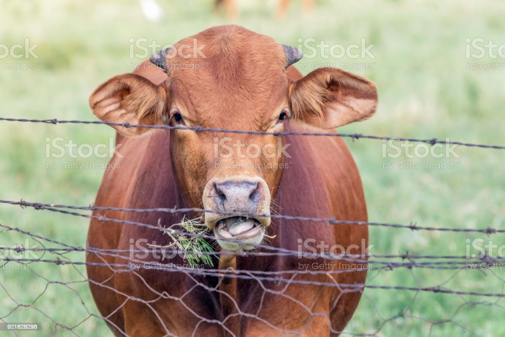 Beefmaster bull in the at the fence chewing grass stock photo