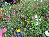 Bee-friendly flowers, planted as part of Monmouthshire County Council's pollinator-friendly scheme