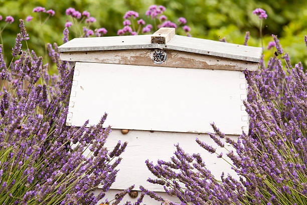 Bienenstock in Lavendel – Foto