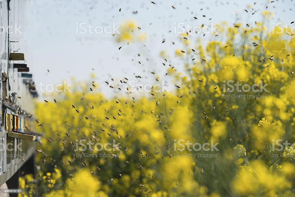 beehives at oilseed rape fields stock photo