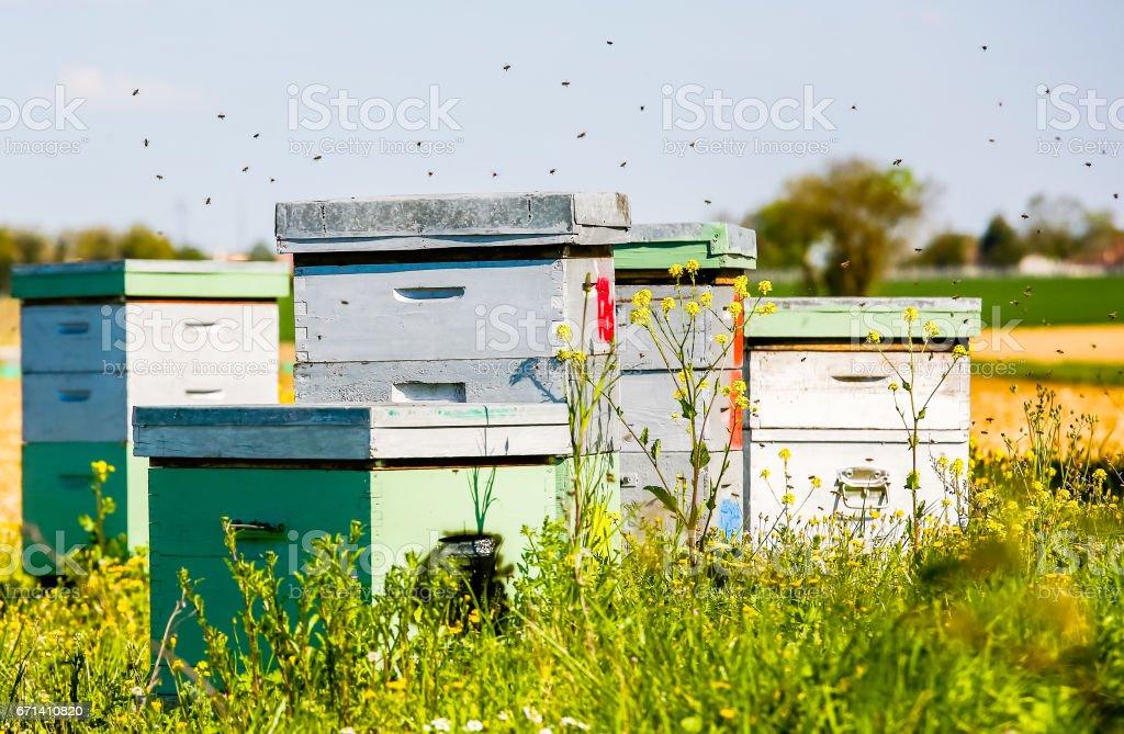 beehives in corner of sunflower field stock photo