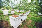 Beehives in lines between trees.