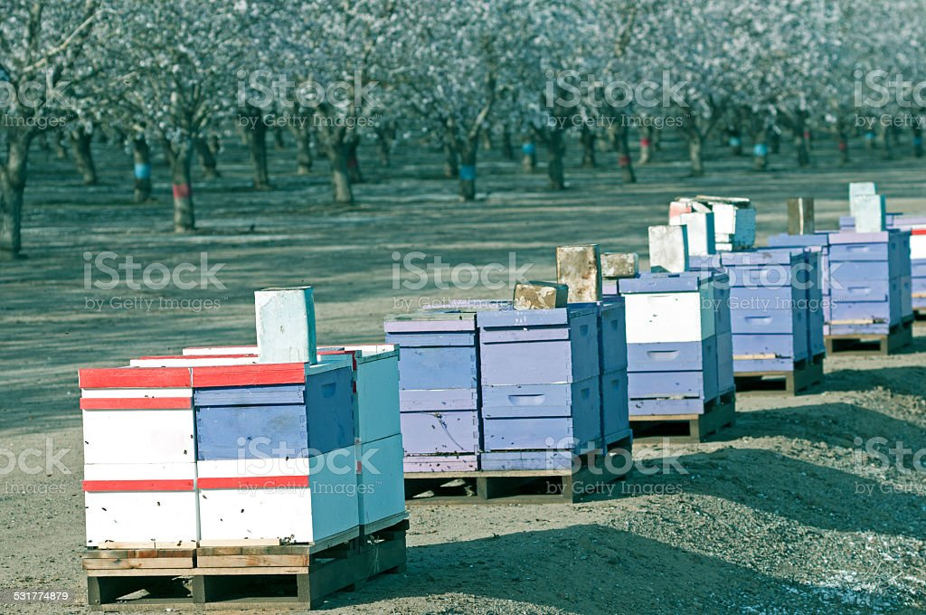 Beehives near almond orchard in central California stock photo