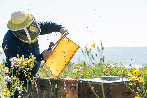 Beekeeper At Work, Cleaning and Inspecting Hive