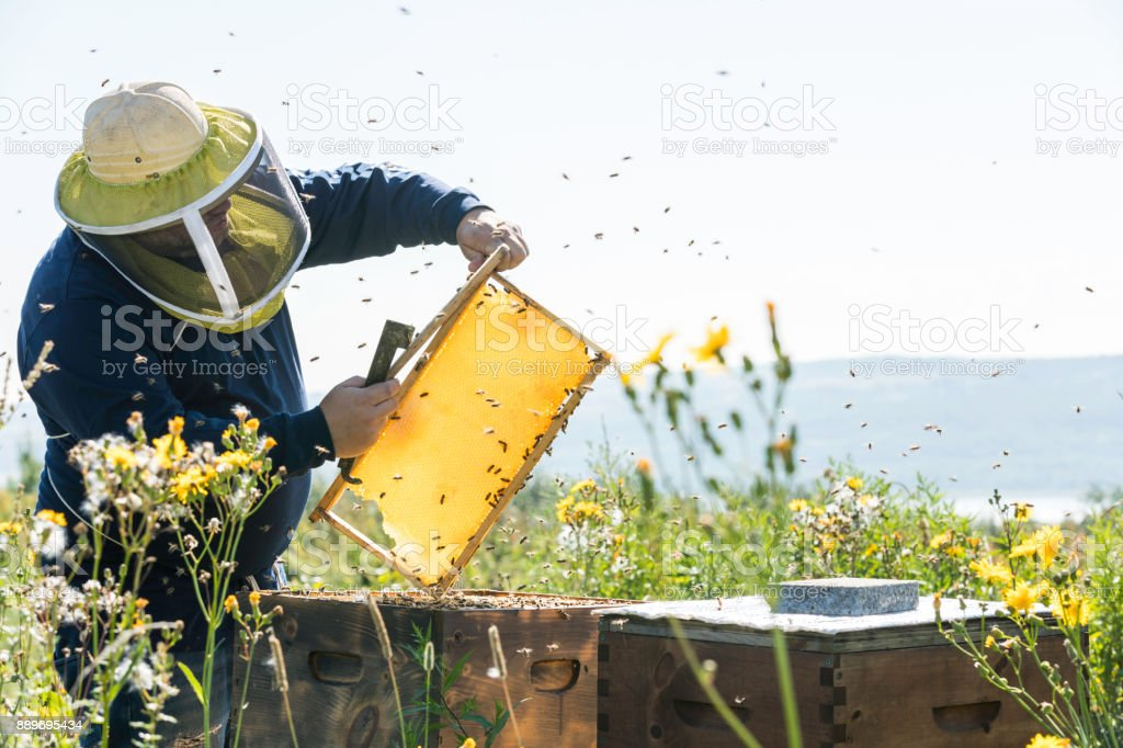 Beekeeper At Work, Cleaning and Inspecting Hive stock photo