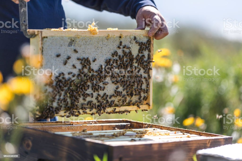 Beekeeper At Work, Cleaning and Inspecting Hive - Royalty-free Adult Stock Photo