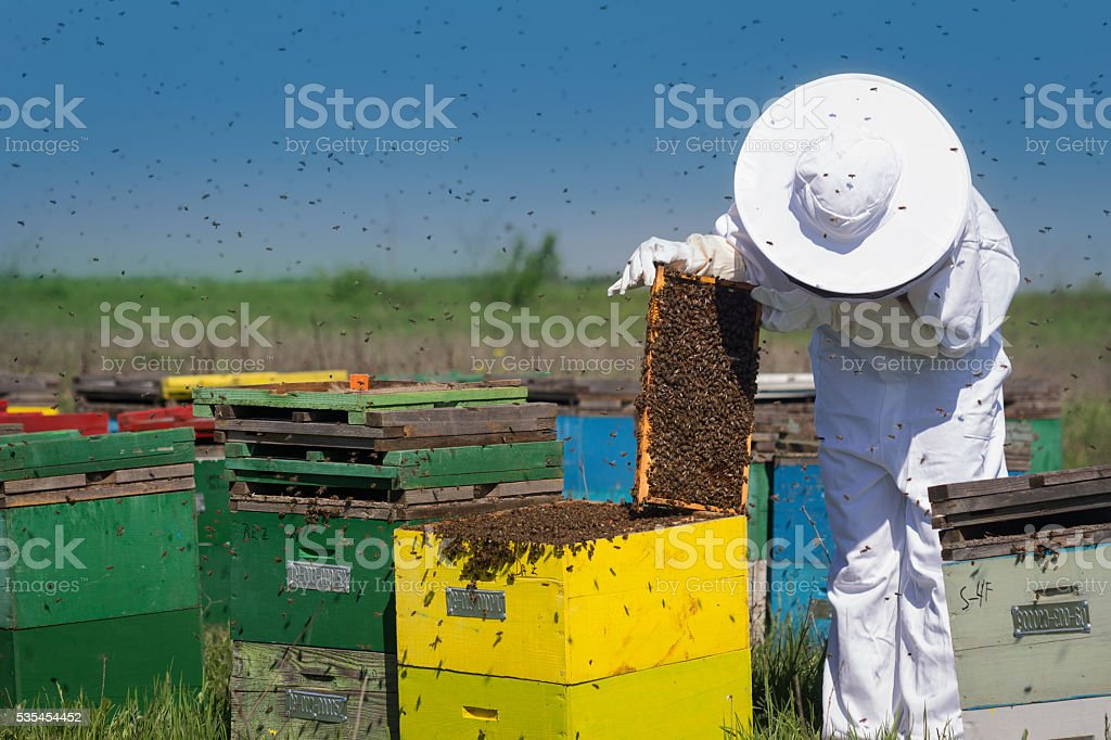beekeeper checking checking the honey combs stock photo