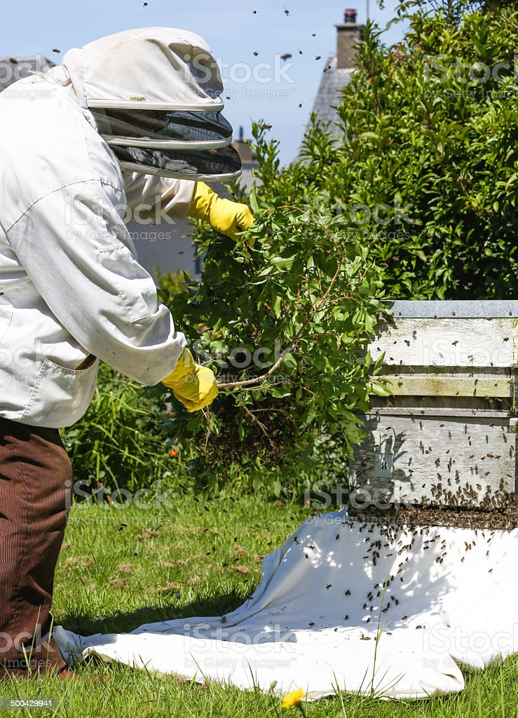 Beekeeper collects wild bees from a tree branch into hive royalty-free stock photo