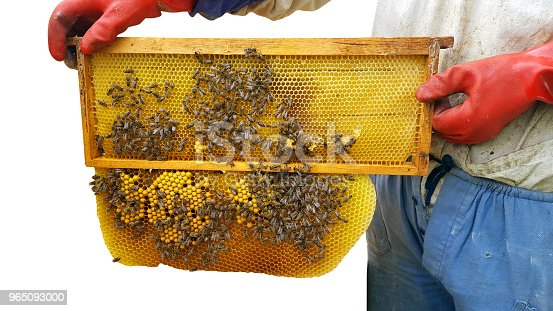 Beekeeper Cuts Wax Off From Honeycomb Frame Stock Photo & More Pictures of Adult