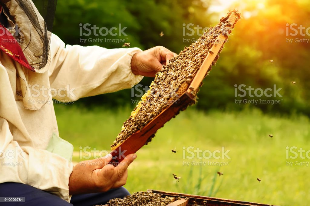 Beekeeper holding a honeycomb full of bees. Beekeeper in protective workwear inspecting honeycomb frame at apiary. Beekeeping concept. stock photo