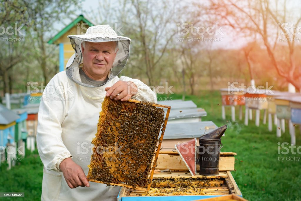 Beekeeper holding a honeycomb full of bees. Beekeeper in protective workwear inspecting honeycomb frame at apiary. Works on the apiaries in the spring. stock photo