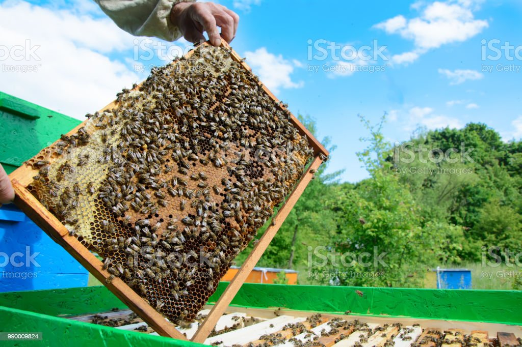 Beekeeper holding a honeycomb full of bees. Beekeeper inspecting honeycomb frame at apiary. Beekeeping concept. stock photo