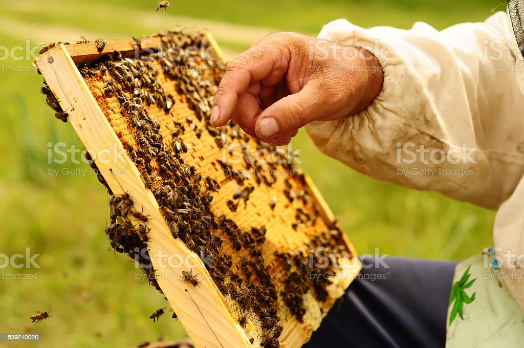 Beekeeper holding frame of honeycomb with bees royalty-free stock photo