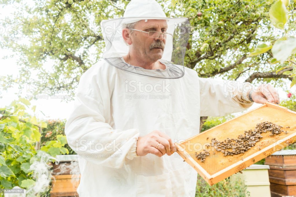 Beekeeper holding honeycomb with bees in his hands stock photo