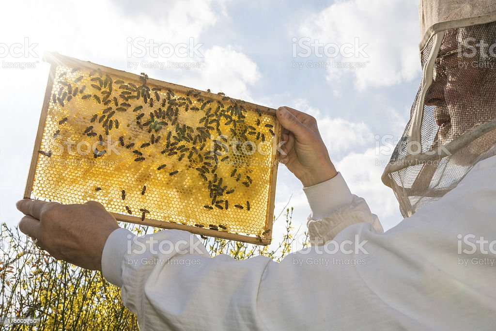 Beekeeper holds honeycomb of a beehive against the sun stock photo
