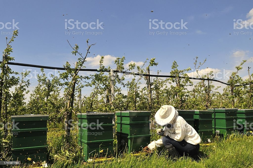Beekeeper in an apple orchard stock photo