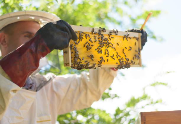 Imker in Schutzkleidung Inspektion Rahmen mit Waben von Bienen – Foto