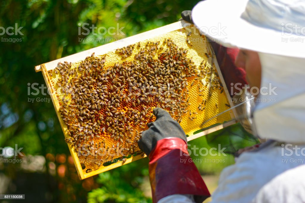 Beekeeper in protective gloves inspecting frame with honeycomb from bees stock photo